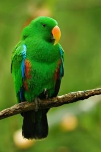 Male_Eclectus_Parrot